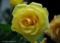 rose6319